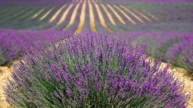 How to use lavender flower for healing and beauty